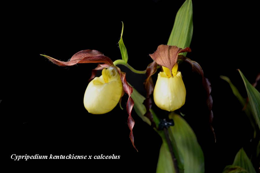 Cypripedium kentuckiense fl