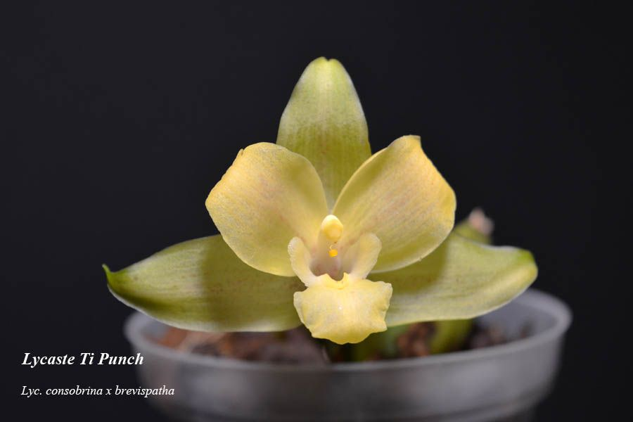 Lycaste Ti Punch