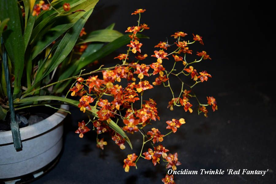 Oncidium Twinkle Red Fantasy
