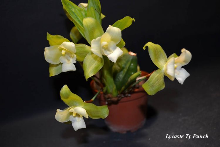 Lycaste Ty Punch