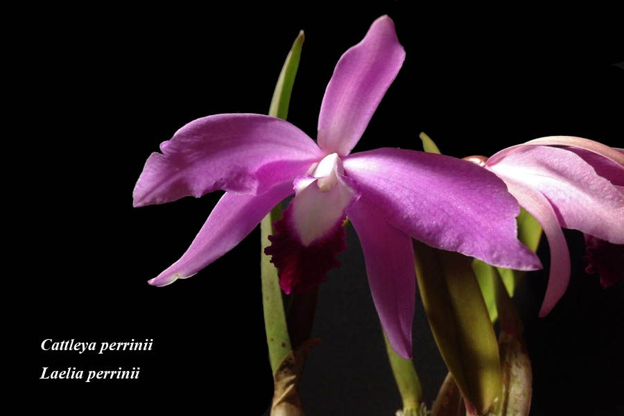 Cattleya perrinii