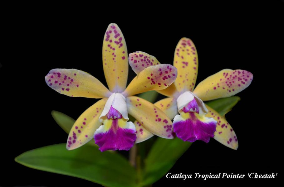 Cattleya Tropical Pointer
