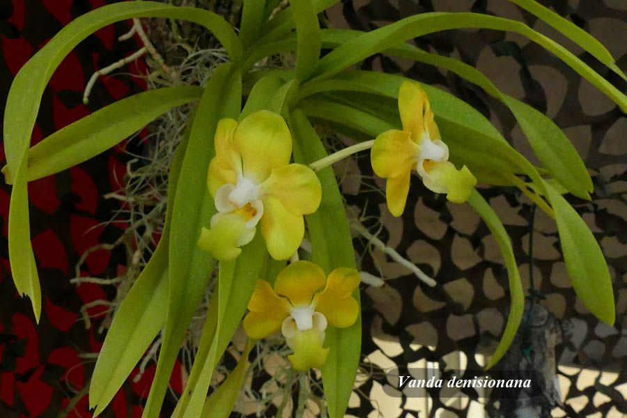 Vanda denisionana