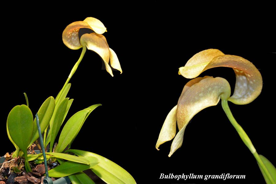 Bulbophyllum grandiflorum