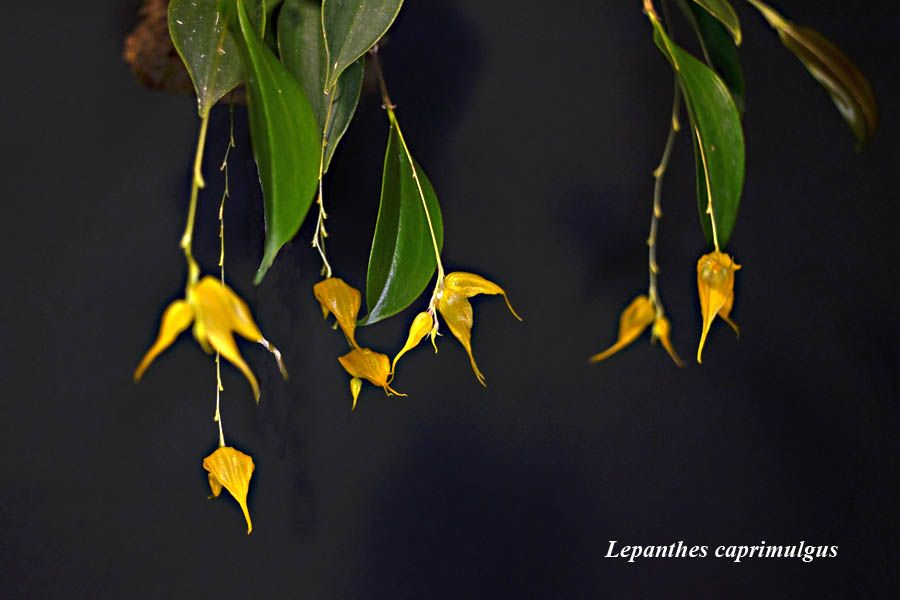 Lepanthes caprimulgus